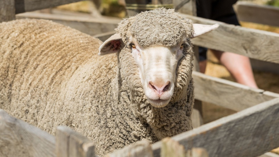 Swans Veterinary Services Header Sheep